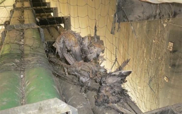 Pombos mortos matar pombos com rede mal aplicado